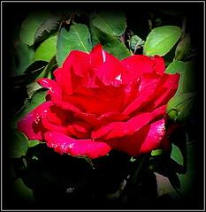 Natural Beauty (dimaruss34) Tags: newyork brooklyn dmitriyfomenko image flower rose