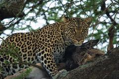 Leopard with Kill (iamfisheye) Tags: 300mm asilia d500 namiriplains safari serengetinationalpark tanzania2018 afs f4 nikon pf tc14iii vr