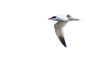 Caspian Tern- Lifer