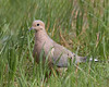 Mourning Dove (dennis_plank_nature_photography) Tags: avianphotography feedingstation thurstoncounty birdphotography naturephotography washignton avian birds blind copse home littlerock nature prairies
