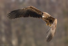 Young sea-eagle (eric-d at gmx.net) Tags: seaeagle eagle seeadler adler naturepicturede ericdgmxnet eric wildlife ngc
