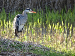 Heron (LouisaHocking) Tags: heron british bird birds cardiff forest farm nature wild wildlife