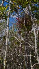 Everglades National Park, Florida (lotosleo) Tags: evergladesnationalpark florida fl nationalpark everglades mangroveforest tree nature plant spring эверглейдс флорида airplants tillandsia landscape forest outdoor