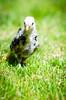 Baby Chickens-33 (sammycj2a) Tags: chick chickens backyardfarm farm chicks pullets straightrun backyard nikon nikkor lightroom