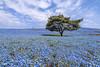 国営ひたち海浜公園,Japan (TaiNg0415) Tags: 国営 海浜公園 花 藍蝶花 粉蝶花 blue