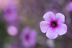 Geraniums (The Flying Inn) Tags: flowers geranium kennettsquare longwoodgardens bokeh floral pennsylvania plants