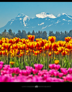 Tulips of the Valley Festival in Chilliwack, BC, Canada