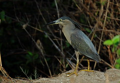 Striated Heron (!! Michael Francis !!) Tags: butoridesstriata striatedheon tschanakya birdsofindia heron canon7dmkii 400mm f4 do is ii