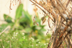 IMG_2881 (lyly1807) Tags: mysister beautiful thainguyen hometown vietnamese vietnam lovely natural garden april green life flowers sunnyday