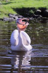 Fresh Catch (Ronny Darko) Tags: pelican pelikan bird vogel zoo tierpark wasser water pond fish catch feeding lake teich ireland irland cobh wildlife faune oiseau attrapper eau etang irlande
