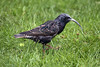 Starling with extend upper and lower mandilble (Dranny2010) Tags: starling deformed beak extended mandible