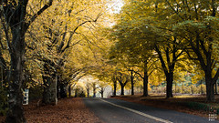one afternoon in autumn (13Moya Photography 十三磨牙) Tags: mount wilson mtwilson blue mountains nsw australia autumn landscape trees road fall leaves yellow