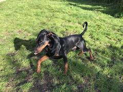 Galloping Saxon In The Garden (firehouse.ie) Tags: hund chien vhien perro dog pinscher pinschers dobermans doberman dobermanns dobermann dobies dobie dobeys dobey dobes dobe saxon
