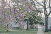 Morning Walk (JMS2) Tags: spring sidewalk street neighborhood flowers scenic outdoor village usa tree blossom