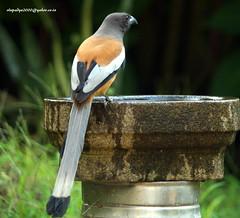 IMG_3199 Rufous Treepie (Dendrocitta vagabunda) (vlupadya) Tags: greatnature animal aves fauna indianbirds rufous treepie dendrocitta kundapura karnataka