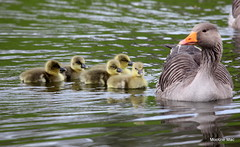 Following mum (mootzie) Tags: goslings birds nature wildlife aberdeenshire scotland goose following yellowfluffy