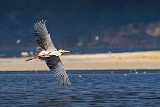 Grey-Headed Heron  (Ardea cinerea)