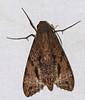 Hawkmoth (Isognathus swainsonii) (berniedup) Tags: belizon roura guyane hawkmoth isognathusswainsonii sphingidae taxonomy:binomial=isognathusswainsonii