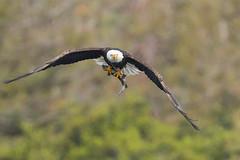 Bald Eagle with Trout (X83_1701-1) (Eric SF) Tags: baldeagle trout eagle fish edrlevincountypark milpitas santaclaracounty california