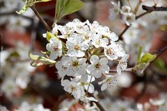 Cherry Blossoms (Read2me) Tags: pree cye washingtondc flower spring white blossom perpetualchallengewinner thechallengefactory challengeclubwinner gamewinner