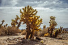_DSC7396 (andrewlorenzlong) Tags: joshua tree national park joshuatree joshuatreepark joshuatreenationalpark california desert cholla chollas cactus garden chollacactusgarden
