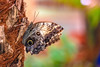 Owl butterfly (Paul Wrights Reserved) Tags: bokeh butterfly owlbutterfly owl wing insect beautiful wings tree colour colourful colours color coloured