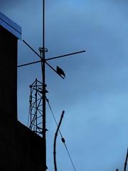 Signal (Fruits Fluid) Tags: bird sky cable backlighting lightblue