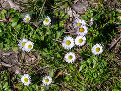 Daisies, Spring has Sprung - Calcata, Italy (BenedictaMLee026) Tags: calcata italy borgo medioevo green walking hiking trekking nature flowers animals cats history etruscan photography reptiles sunny sunday trip travelling trees river panasonic group tombs ancient leaves viterbo italia province