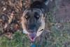 Attention (Rushay) Tags: alsatian animal canine dog germanshepherd pet portelizabeth southafrica tongue