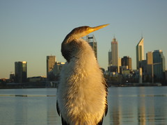(087/365) Wednesday March 28th (philk_56) Tags: perth western australia waterbird little pied cormorant swan river skyline buildings city sunrise