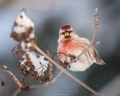 Hello there! (laurilehtophotography) Tags: suomi finland jyväskylä nature wildlife winter photography bokeh bird animal nikon d610 nikkor 200500mm snow tree forest cold colors amazing europe world