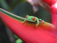 Matching colors - Red-eyed tree frog (Agalychnis callidryas), Sarapiqui, Costa Rica, Dec 2016 (Judith B. Gandy (on and off, off and on)) Tags: agalychnis sarapiqui frogs amphibians animals agalychniscallidryas costarica laquintasarapiquicountryinn redeyedtreefrogs treefrogs