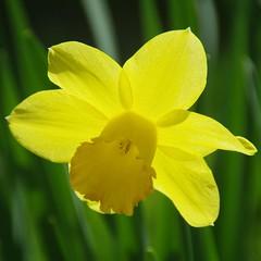 Au jardin (Ariège) (PierreG_09) Tags: seix ariège pyrénées pirineos couserans hautsalat occitanie midipyrénées narcisse flor flore fleur plante jardin aujardin