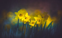 Daffodils (Dhina A) Tags: sony a7rii ilce7rm2 a7r2 tamron sp 500mm f8 tamronsp500mmf8 prime ad2 adaptall2 mirrorlens 55bb catadioptric reflex cf tele macro daffodils flower spring