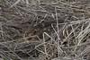 liebre (Stefan Heinrich Ehbrecht) Tags: conejo liebre hase feldhase rabbit natur wiese obstwiese osterhase ostern