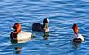 Deux et une... (Diegojack) Tags: morges vaud suisse oiseaux canards fuligules milouins foulques reflets d7200