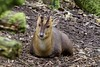 Muntjac de Reeve (cécilelamoureux) Tags: animal sauvage wild nature canon muntjac