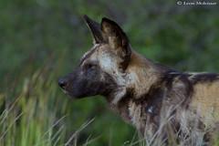 African Wild Dog (leendert3) Tags: leonmolenaar southafrica krugernationalpark wildlife nature africanwilddog mammals ngc npc