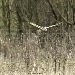 The Stare (Nobby1968) Tags: shortearedowl shorty owls hawling flight flying bird birds nature outdoors wildlife wild
