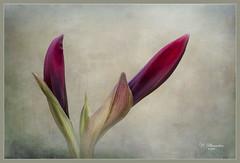 Amaryllis buds (ulli_p) Tags: asia amaryllis amaryllisbuds amaryllisbenfica artofimages aworkofart bud colours canon750d flickraward nature thailand texture textured texturedphoto