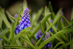 Blue Spring (FotoCorn) Tags: tuin spring lente bloemen bloem flower blauwedruifjes voorjaar april blue flowers garden macro muscaribotryoides grapehyacinth