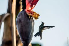 Colibri d'Helen (Mellisuga helenae)     Zunzuncita pour les Cubains (francisaubry) Tags: oiseau bird colibri cuba nikon nikkor nikonflickraward