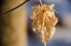 Leftover DSN_1732 (iloleo) Tags: leaf foliage bokeh nature nikond7000 winter