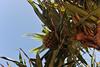 MJ2_5363.jpg (M. Jarrett) Tags: australia scottshead pandanus southwestrocks