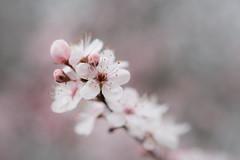 le printemps (christophe.laigle) Tags: rose christophelaigle fleur macro cerisier nature flower fuji blanc blanche xpro2 xf60mm white
