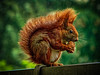red squirrel in the rain (Peter's HDR-Studio) Tags: petershdrstudio hdr redsquirrel squirrel eichhörnchen rain regen walnut walnuss red rot green grün