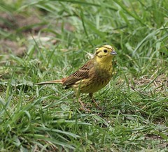 Yellowhammer (kc02photos) Tags: yellowhammer embberizacitrinella weetingheath norfolk england uk birdphotography
