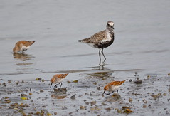 Black-bellied Plover and Dunlin (Neal D) Tags: bc surrey crescentbeach blackiespit bird plover blackbelliedplover pluvialissquatarola dunlin calidrisalpina