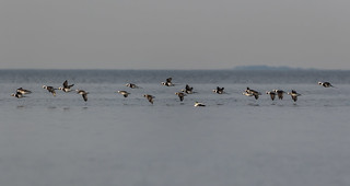 Long-tailed ducks I Allit