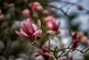 blooming magnolias (kderricotte) Tags: sony sony85mm18 bokeh depthoffield flower plant tree bloom spring sonya7ii a7ii ilce7m2 blossom